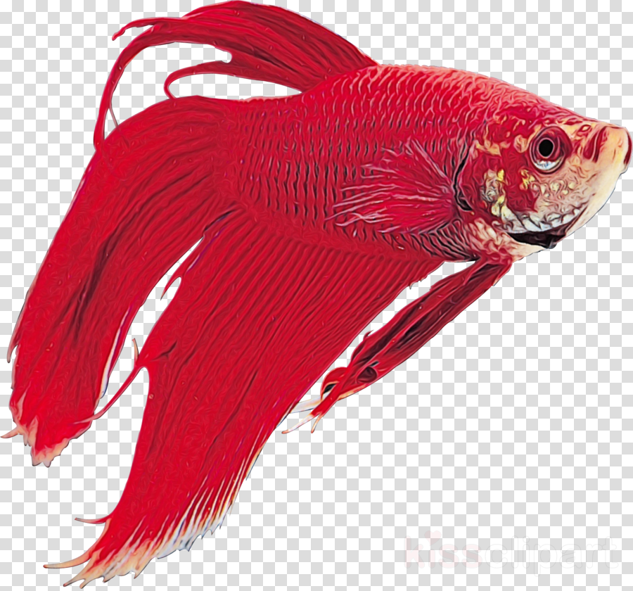 northern red snapper red snappers tail