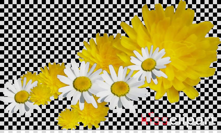 common daisy flower cut flowers oxeye daisy chrysanthemum
