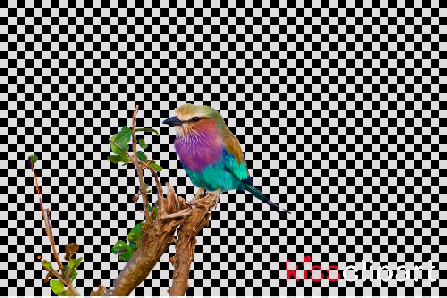 rollers parrots beak bee-eater birds