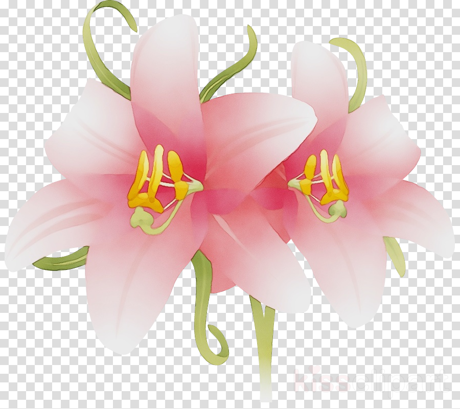 cut flowers petal pink m flower lily m