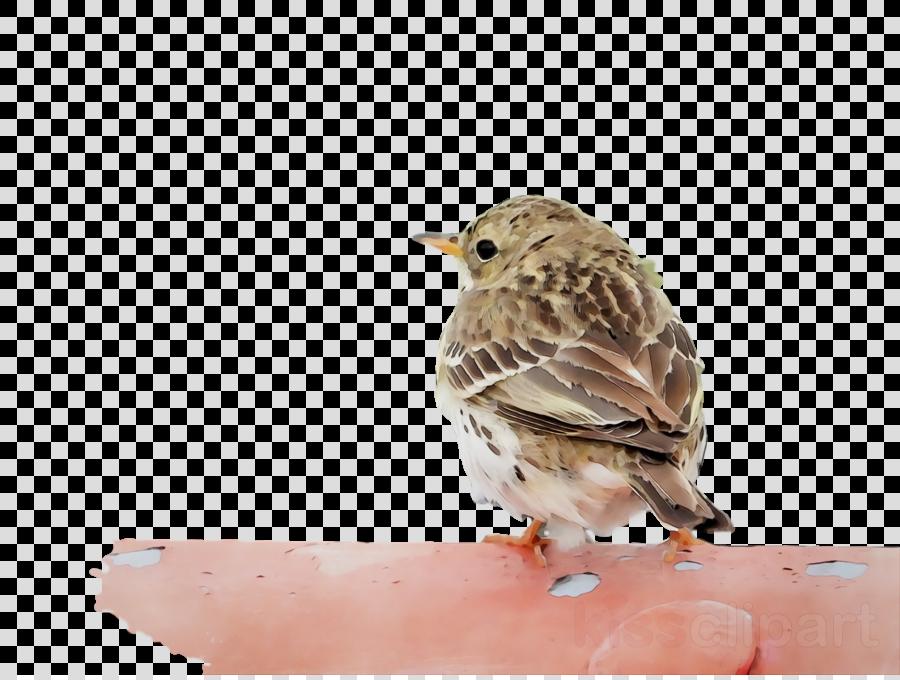 house sparrow ortolan bunting brambling lark american sparrows