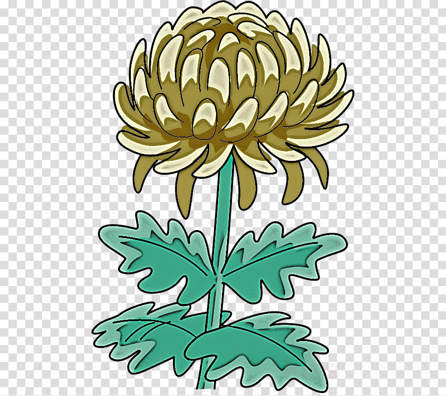 Chrysanthemum chrysanths