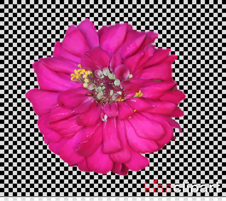 dahlia cut flowers peony m petal pink m
