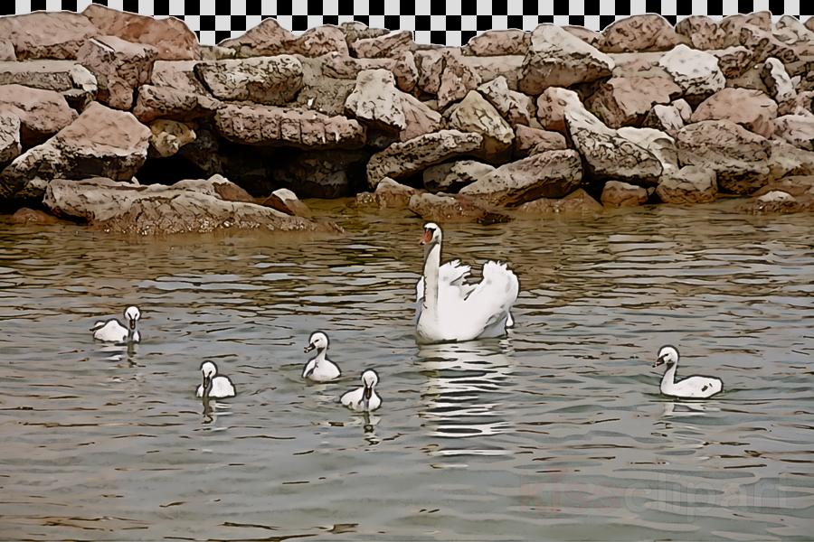 duck goose swans birds ducks