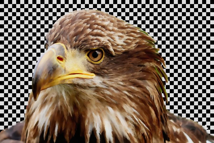 bald eagle hawk buzzard falcon common buzzard