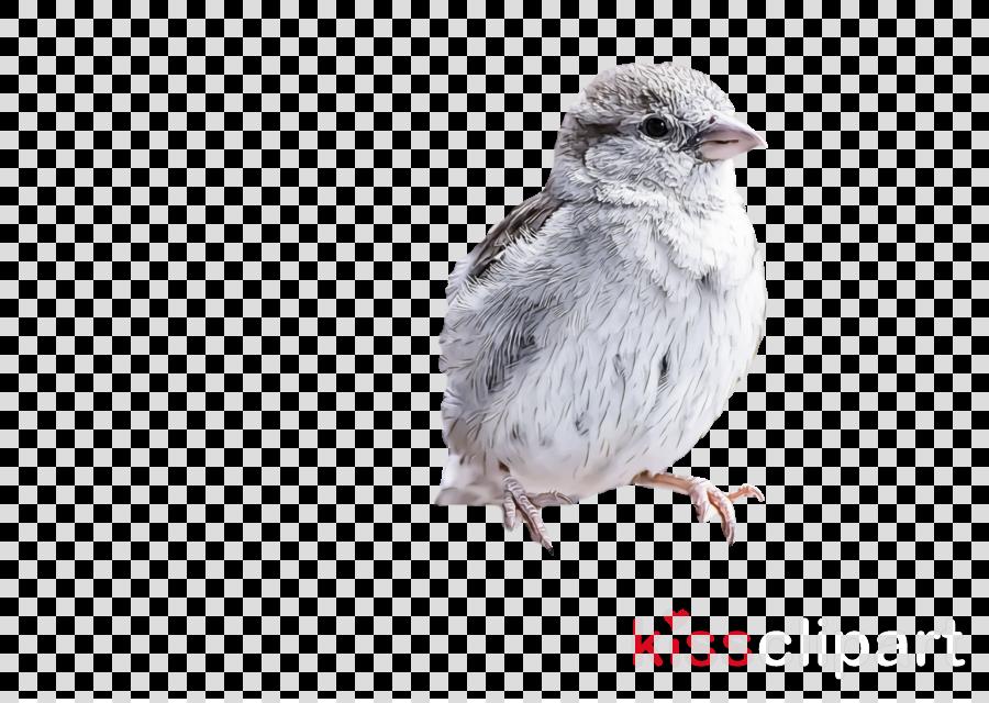 house sparrow american sparrows old world sparrow birds finches