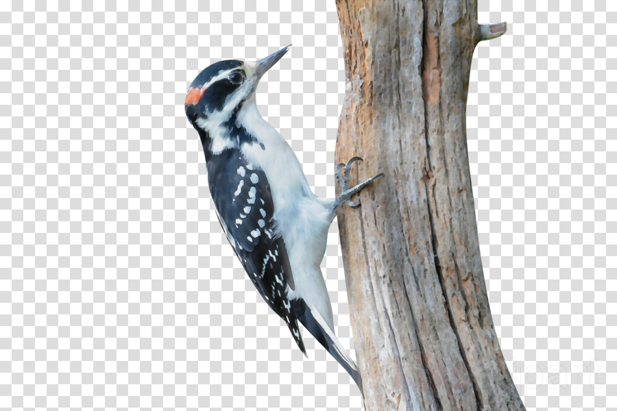 woodpeckers piciformes tree beak