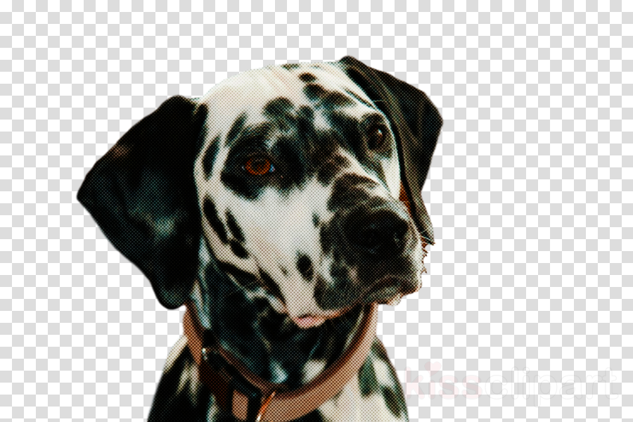 dalmatian great dane snout breed dog