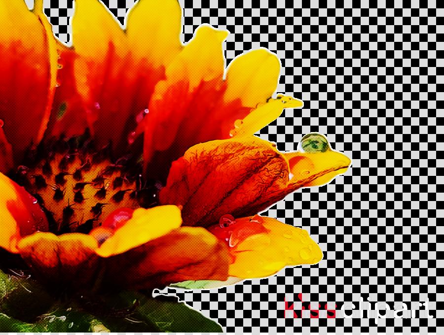 chrysanthemum annual plant transvaal daisy pollen pot marigold