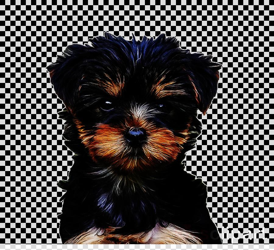 yorkshire terrier morkie schnoodle affenpinscher puppy