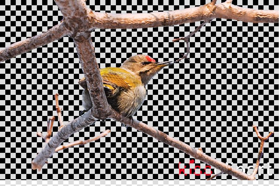 finches coraciiformes birds woodpeckers beak