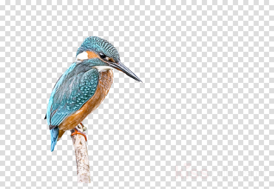 birds herons green heron coraciiformes woodpeckers