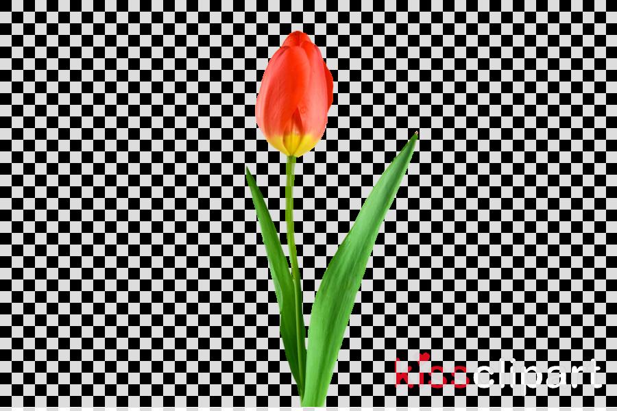 plant stem cut flowers tulip bud petal