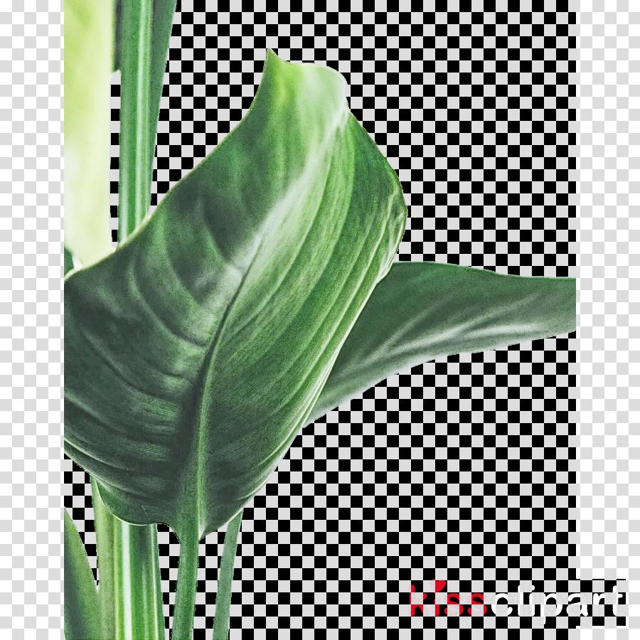 plant stem leaf arum lilies close-up plants